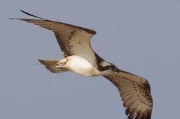 La tentative de nidification du balbuzard de Bellechasse échoue