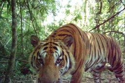 Thaïlande: le nombre de tigres remonte très lentement