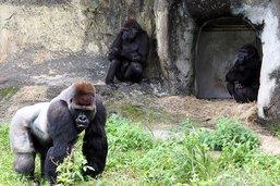 Onze ans de prison pour avoir tué un gorille des montagnes