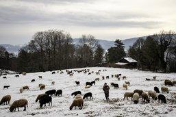 Transhumance dans le Jura